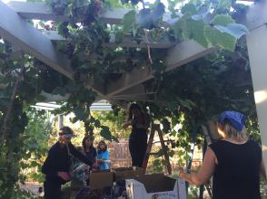 CityHeART's Harvest Partners LB program picks the produce of local backyards to be donated to local shelters and food banks.